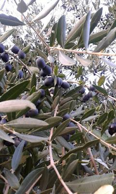 Per la raccolta delle olive serve un pomeriggio