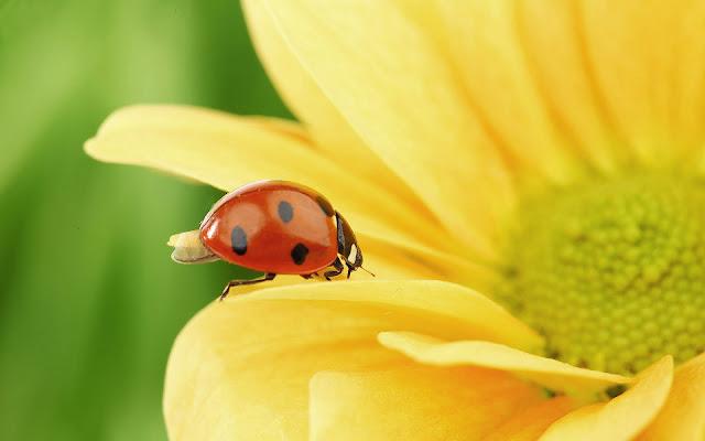 Lieveheersbeestje op een gele bloem