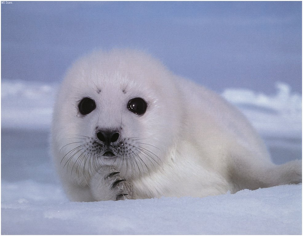 """""""The Existence of Our Natural Environment."""": """"BABY SEALS ... - photo#1"""