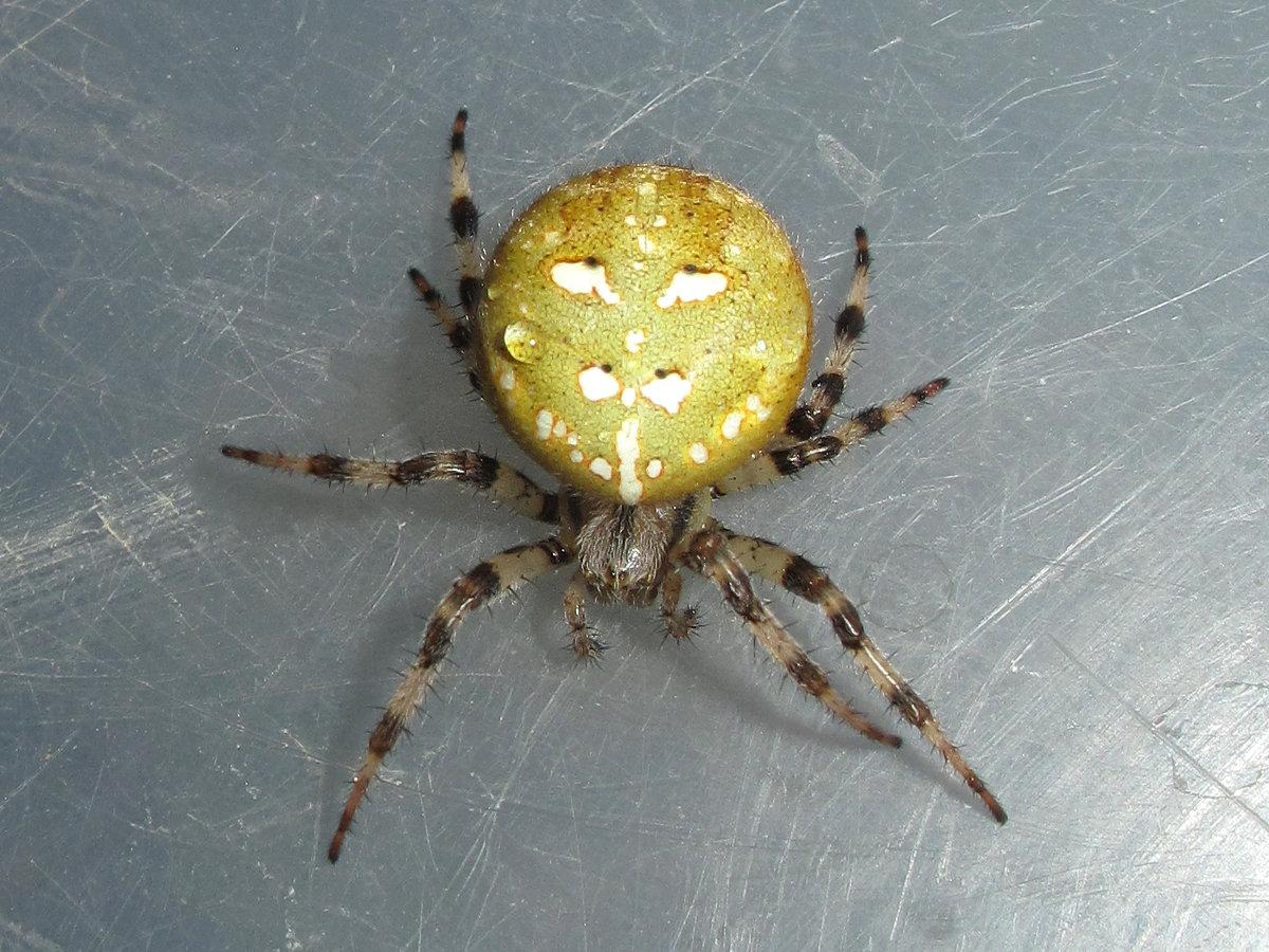 тех паук с шариком на спине фото каталоге продукции представлены