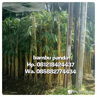 Tukang Taman minimalis jual bambu panda kuning untuk tanaman pagar pembatas dan tanaman hias Taman dengan harga murah
