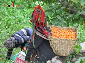 Collecting Apricots in basket