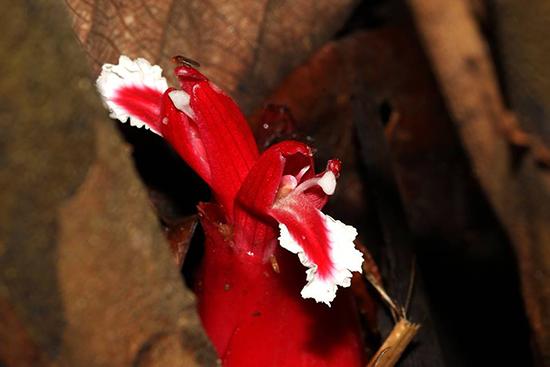 Hornstedtia sanhan
