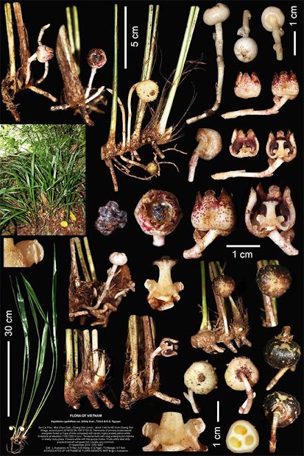 Aspidistra bifolia