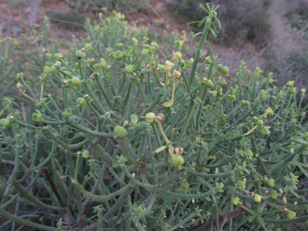 Euphorbia x marreroi