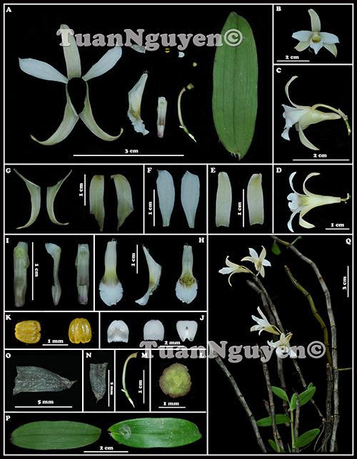Dendrobium xichouense