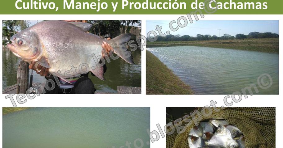 Todos los manuales que necesitas proyecto cultivo manejo for Lagunas para cachamas
