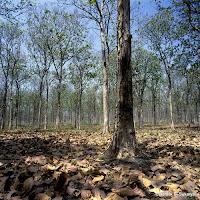 photo611 06 dgs hutan+jati+di+musim+kemarau,+caruban,+jawa+timur Pemkab Tapsel Diminta Intensifkan Pengawasan Hutan