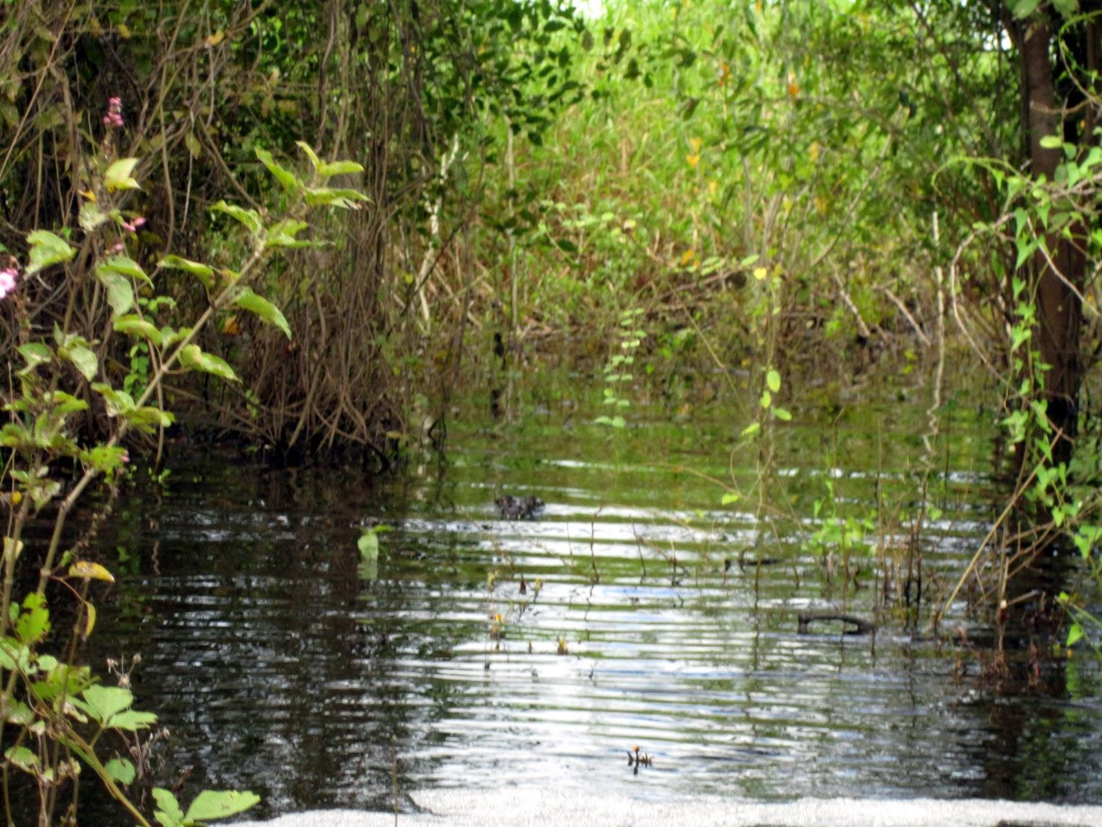 amazon-river-alligator