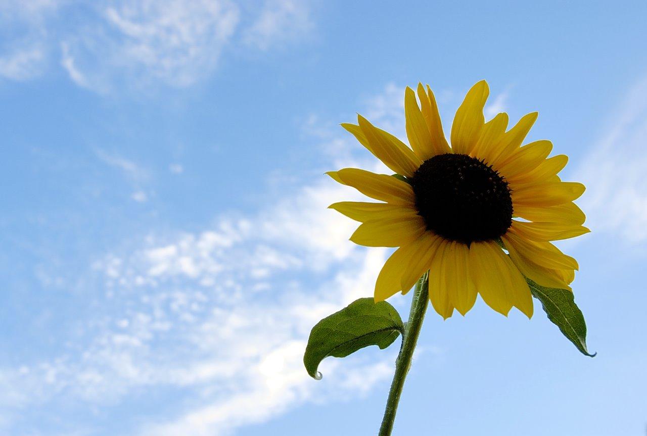 [SummerSunflower1.jpg]