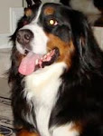 Bernese MountainDog - Rescue, Rehab and Rehome