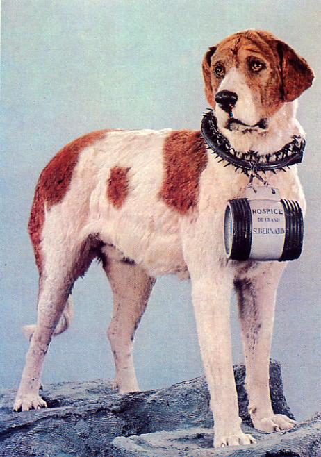 arnes perro san bernardo