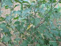 Στρύφνος-Solanum nigrum