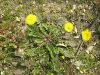 Ταράξακον το φαρμακευτικόν-Taraxacum officinalis