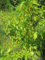 Πιπεριές καυτερές Afriacan bird-σπορά φύτεμα καλλιέργεια