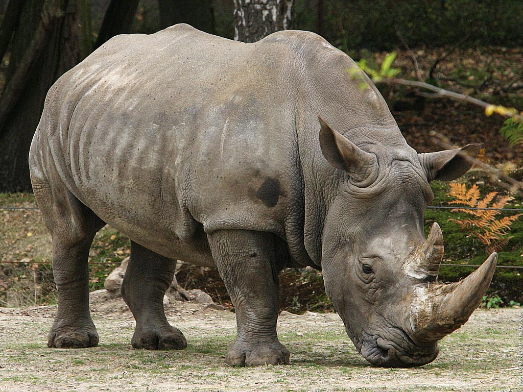 African Rhinos to be Extinct | Animals In The World