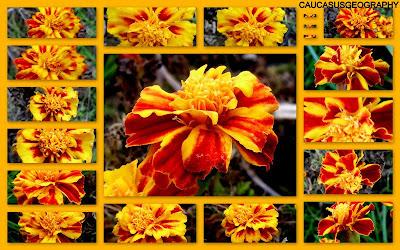 FREE MARIGOLD FLOWER IMAGE
