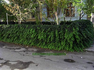 free ivy image