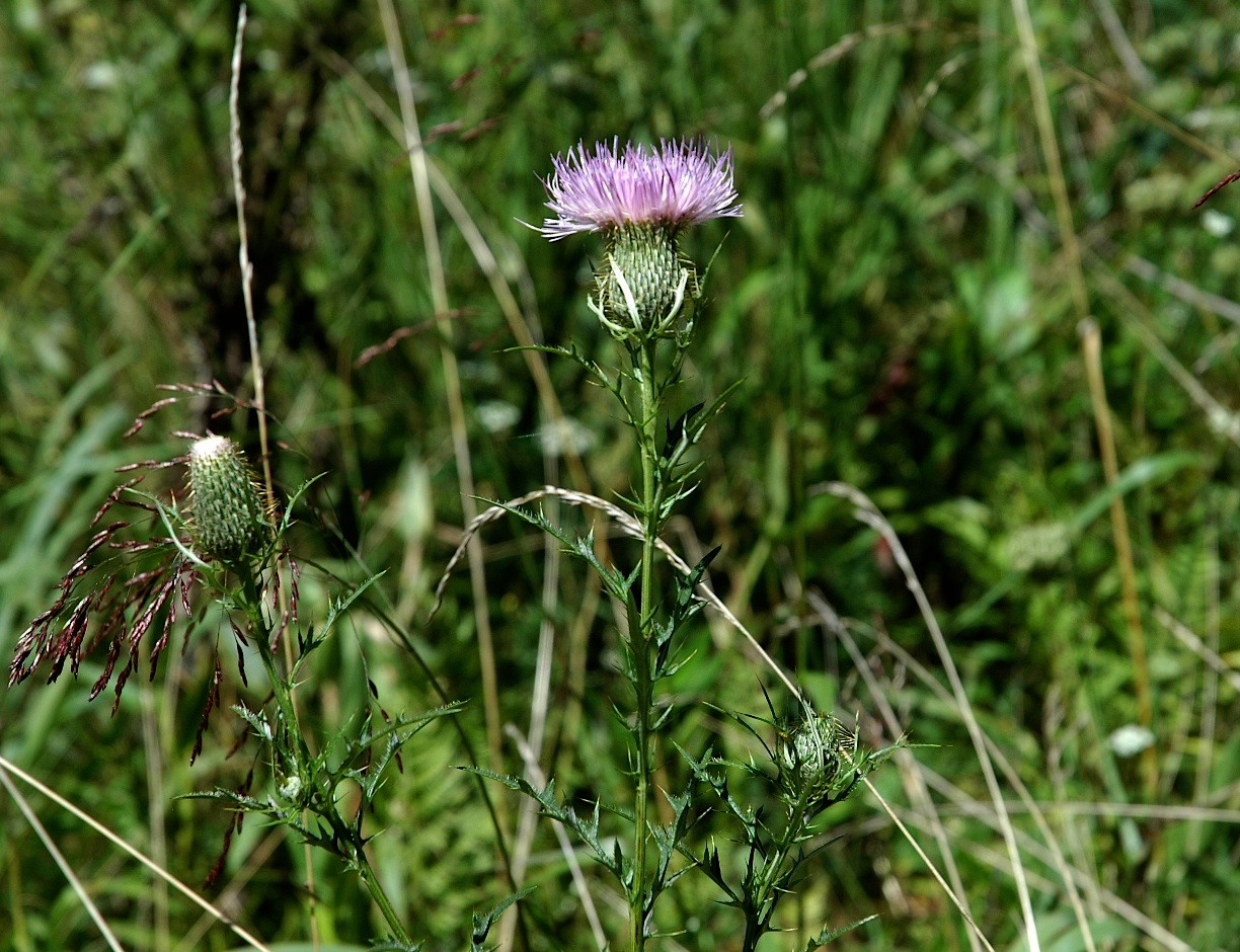 Field Biology in Southeastern Ohio: Thistles do not tickle
