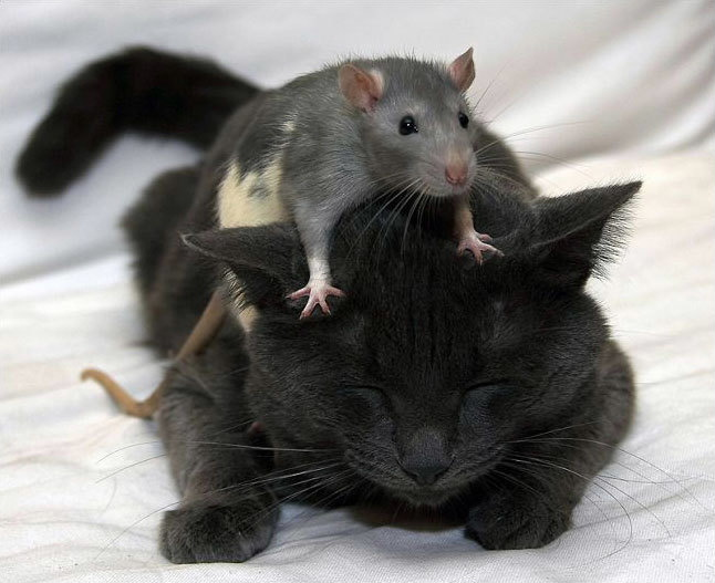 http://4.bp.blogspot.com/_0-JjpejcaDk/SpCmiel0k1I/AAAAAAAAAAM/D9usNQPwh4Q/S1600-R/humor-lucu-kucing-tikus-8.jpg