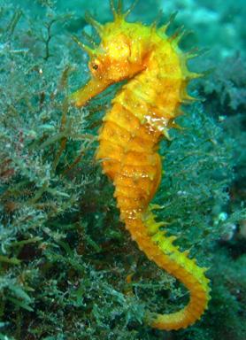 Aedorapsodia l 39 ippocampo for Immagini di cavalluccio marino