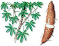 Latin American Cook: YUCCA THE UBIQUITOUS TROPICAL TUBER