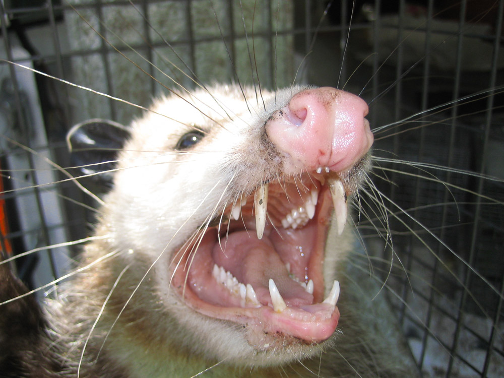 What Kind Of Food Do Possums Eat