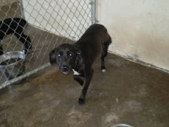 8/15/10 Urgent Black Lab Mason County Animal Shelter WV