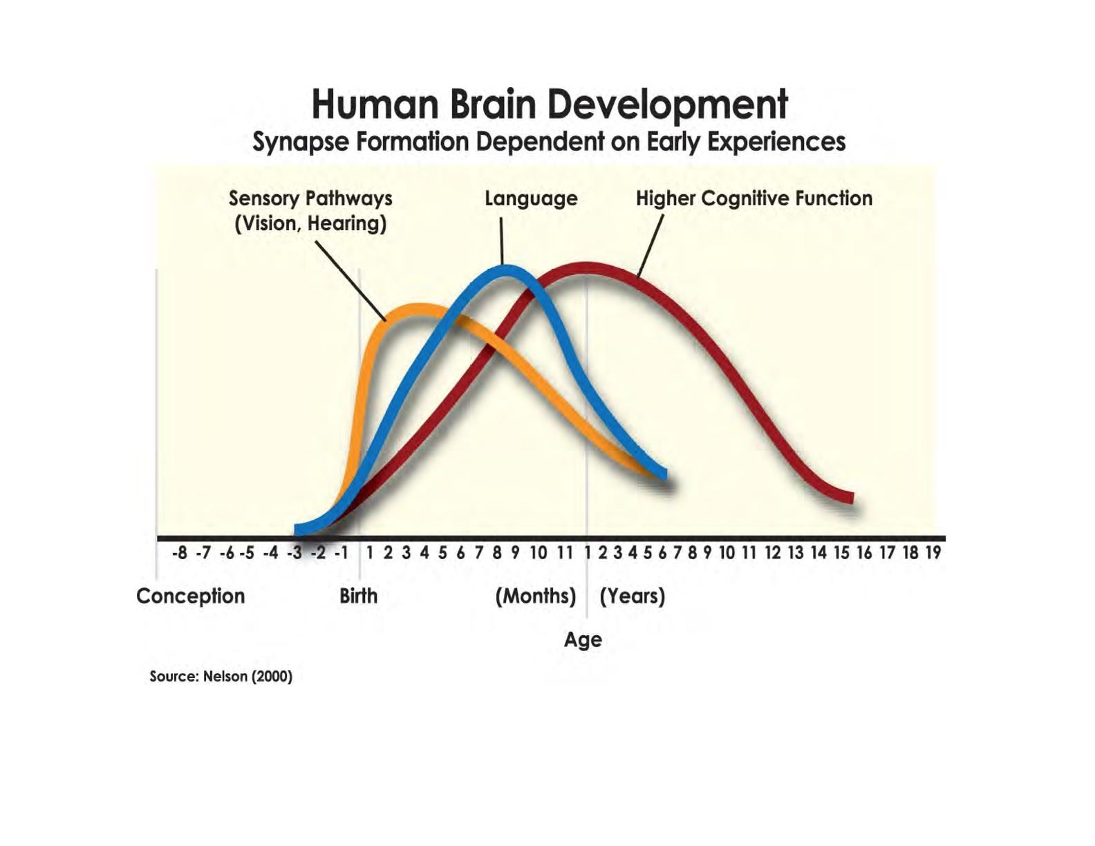 Adult Brain Development 16