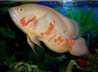 All About Aquarium Fish Oscar Tank Setup And Care