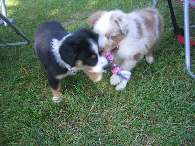 red merle tri-color australian shepherd puppies Michigan