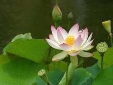 Herbs Treat And Taste Lotus Lotus Root Lotus Flower How To Use