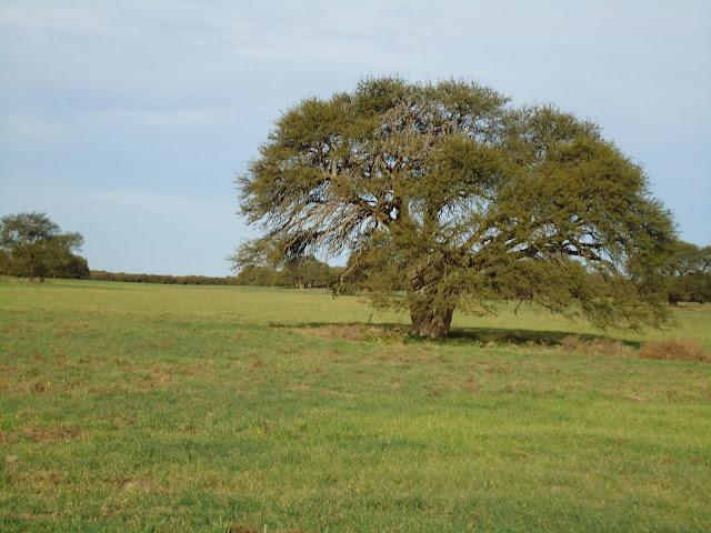 Prosopis caldenia