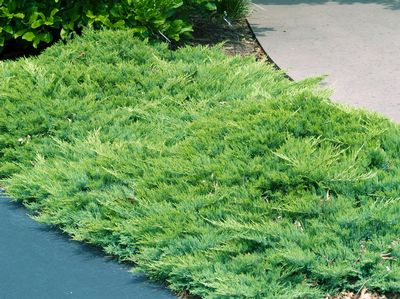 Heritage Nursery West Evergreen Shrubs
