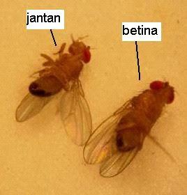 sinau online Perbedaan Drosophila melanogaster lalat