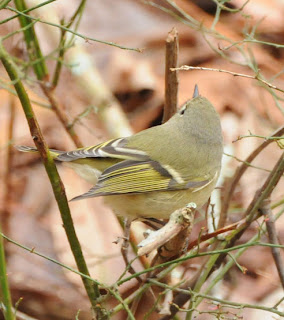 Female Ruby-crowned Kinglet at Audubon's Francis Beidler Forest by Mark Musselman