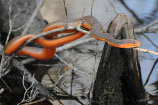 Red-bellied Water Snake at Audubon's Francis Beidler Forest by Mark Musselman