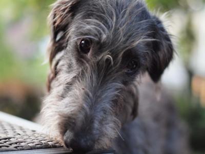 Scottish Deerhound Giant Dog Breeds Index
