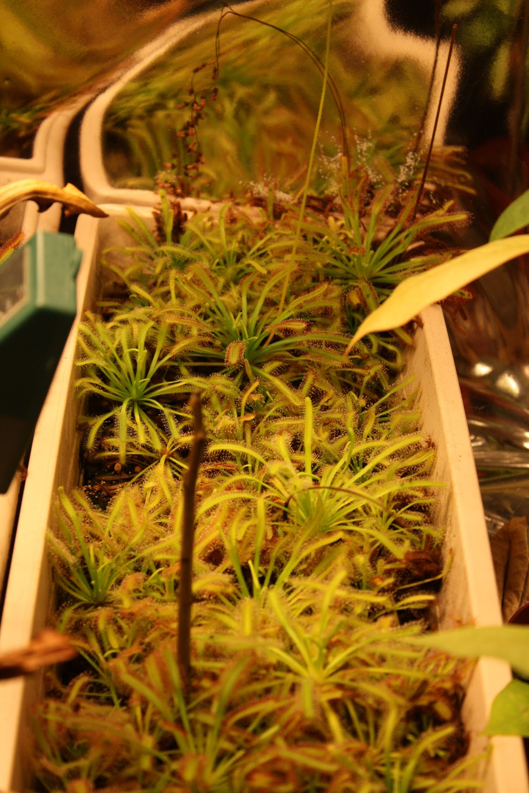 Mini Moucheron Dans La Maison notre ti chez nous: plantes : culture de drosera capensis