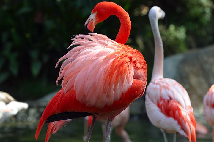 Fotos de Flamencos - The Flamingos