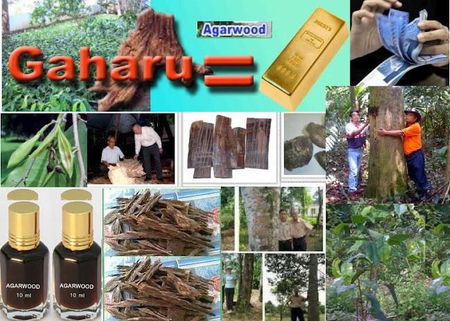 GAHARU = GOLD