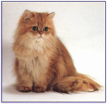 小貓的世界: 波斯貓