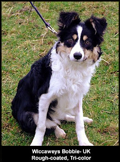 The Taming of a Country Boy: A Border Collie Named Blizzard: The