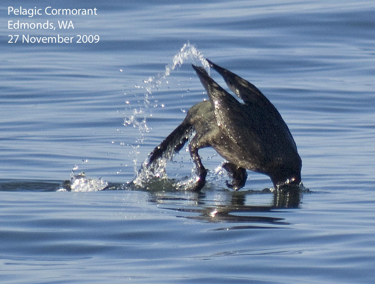 Northwest Nature Notes: DIVING BIRDS