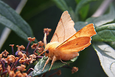 September Thorn, by Rob at Urban Moths