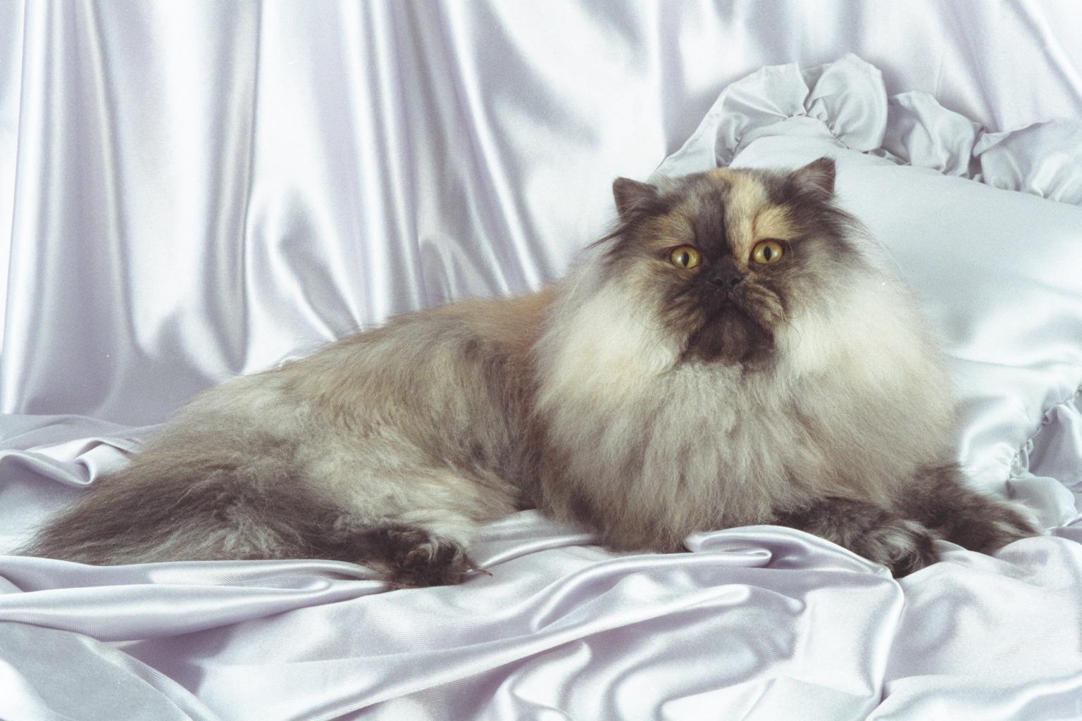 Surabaya Cat Lover Memilih Kucing Persia Sebagai Indukan