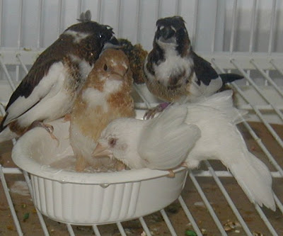 society finches bathing