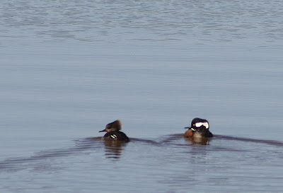 hooded mergansers on Lake Gaston