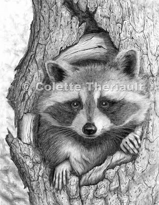 Artful Pencil- Drawings by Pet/Animal Artist Colette Theriault Raccoon Drawing