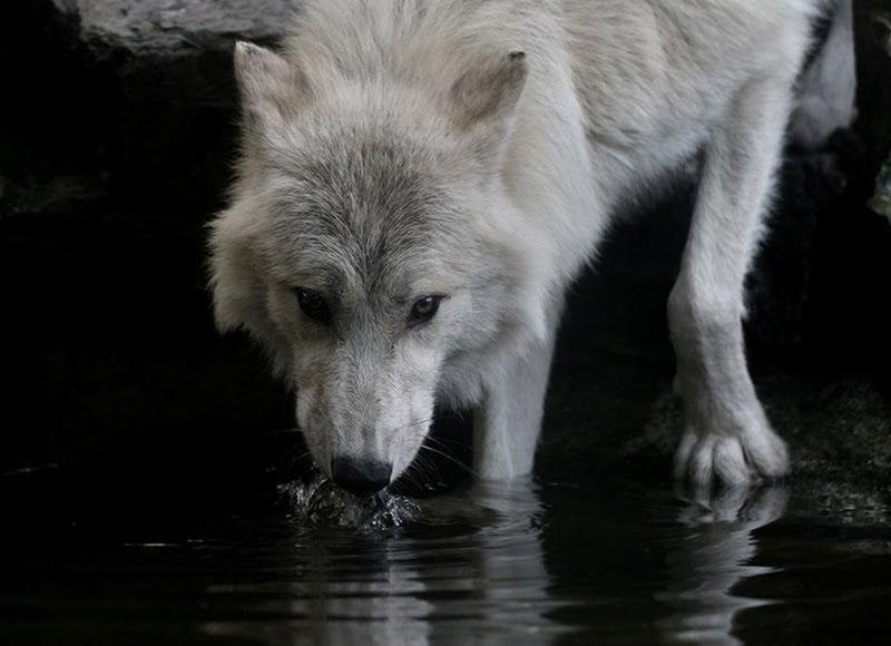 Animal Desktop Wallpaper A Energia Vital Lobo Animal De Poder Parte I
